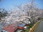 田子旧道のソメイヨシノ並木