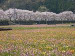 花畑とソメイヨシノ並木