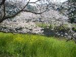 那賀川のソメイヨシノ