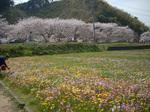 ソメイヨシノ並木と花畑