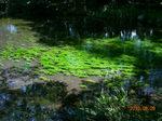 「中の瀬」の水草